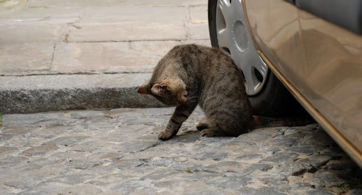 varför jamar katten hela tiden