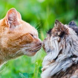 Katter maste kopplas